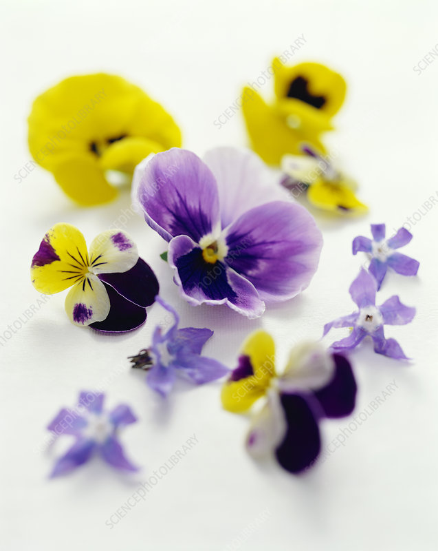 Pansy flowers