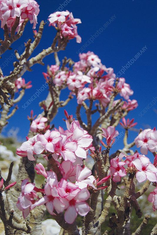 Desert rose flowers - Stock Image - B760/0498 - Science Photo Library