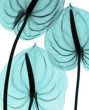 Anthurium, X-ray