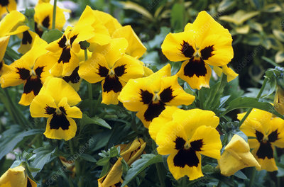 Ultima Yellow pansies