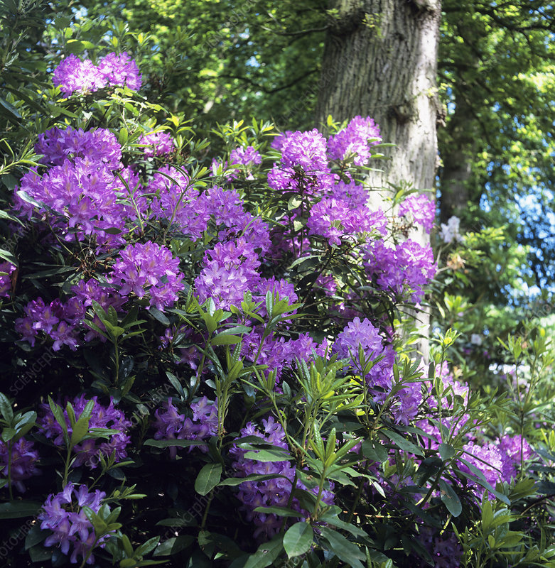 Flowering rhododendron shrub