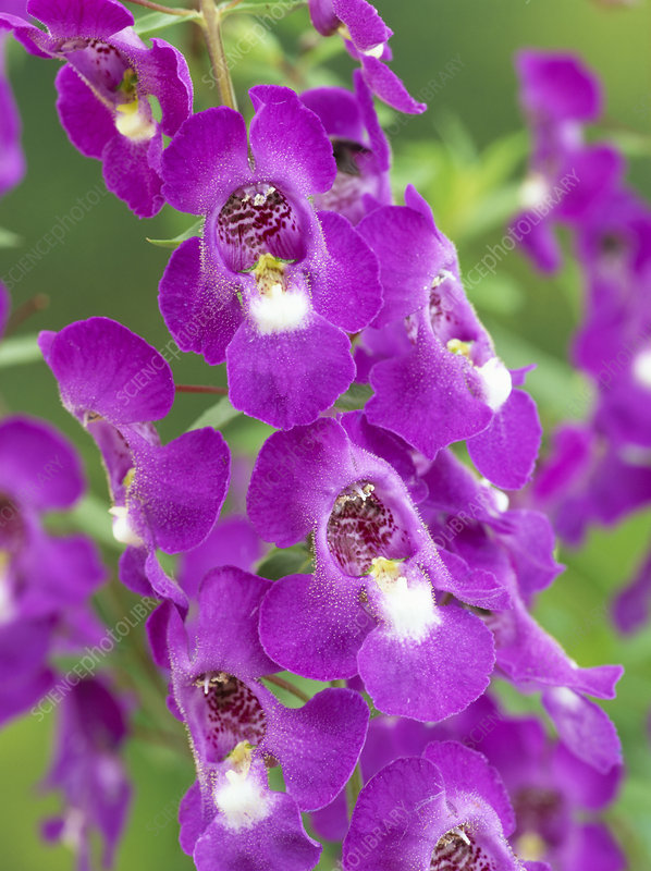 Angelonia flower
