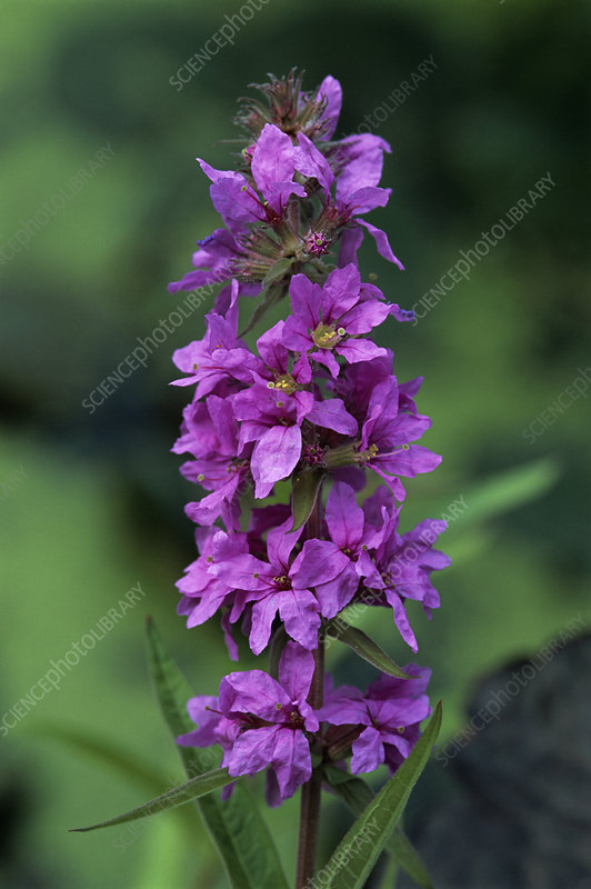 European wand loosestrife flowers