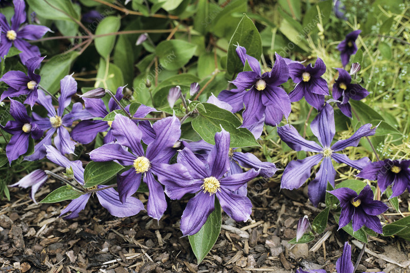 Durand's clematis flowers