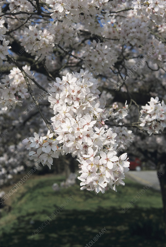 Yoshino cherry flowers