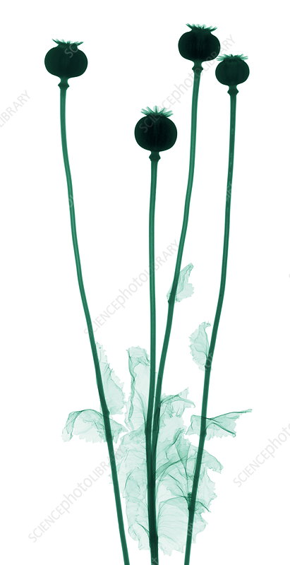 Poppies, X-ray