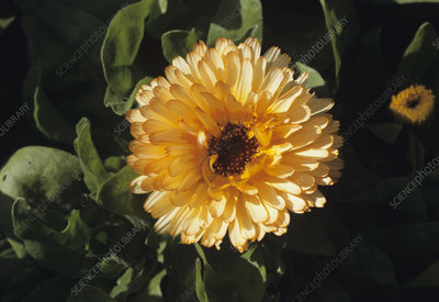 English marigold