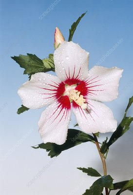 Hibiscus syriacus 'Red Heart' flower