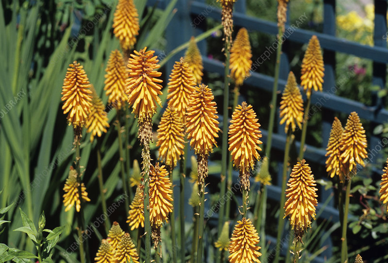 Red-hot poker plant flowers