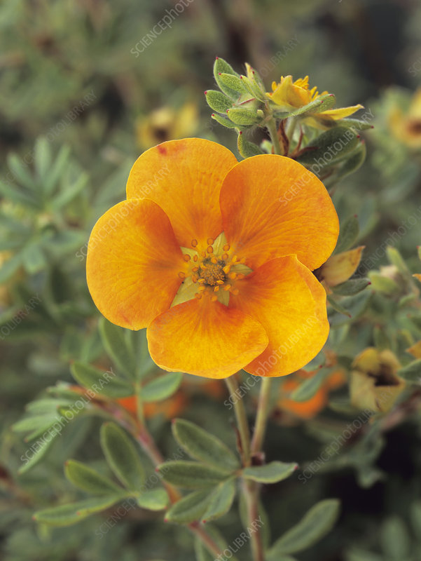 Bush cinquefoil flower