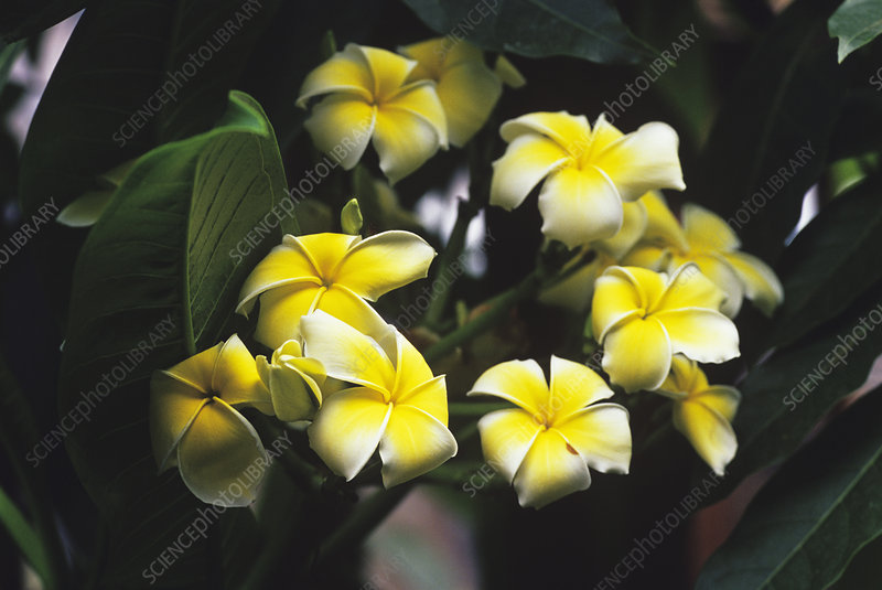 Common Frangipani flowers