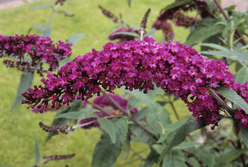 Butterfly bush flowers