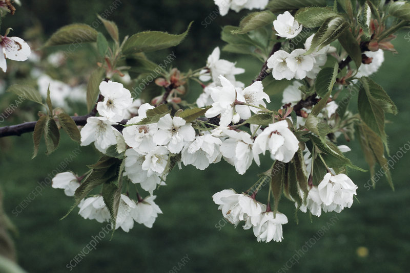 Great white cherry flowers