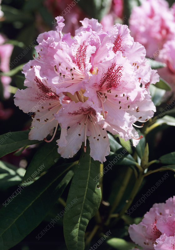 Rhododendron 'Cheer' flowers