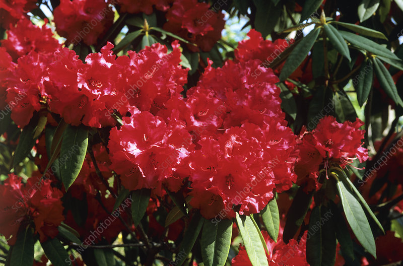 Rhododendron 'Grace Seabrook' flowers