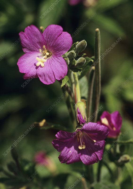 Great willowherb (Epilobium hirsutum)