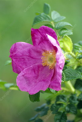 Salt spray rose flower (Rosa rugosa)