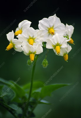 Potato flowers (Solanum tuberosum)