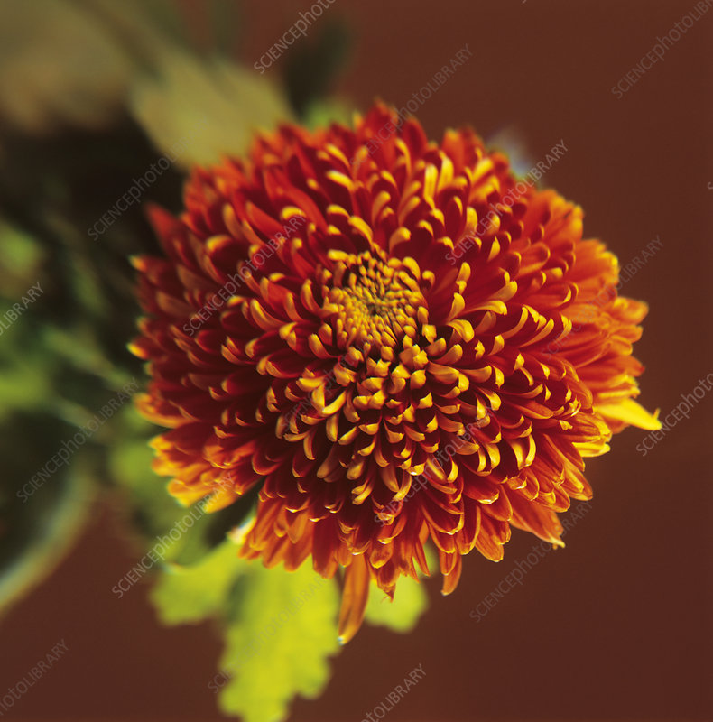 Chrysanthanemum 'Bronze Bloom' flower