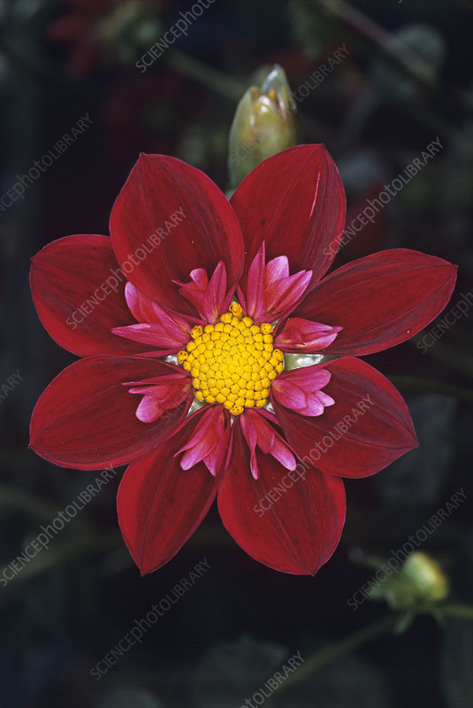 Dahlia 'Don Hill' flower