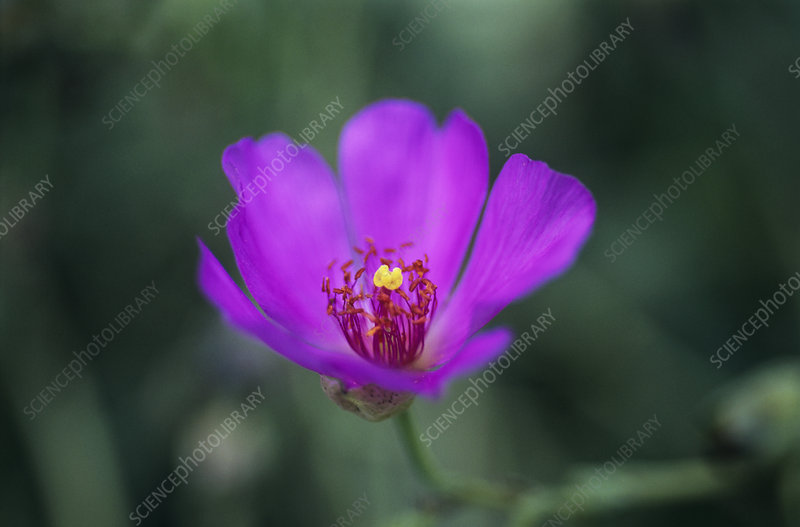 Red maid flower (Calandrinia ciliata)