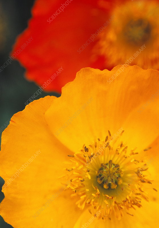 Iceland poppies (Papaver nudicaule)