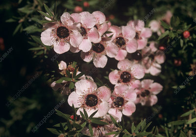 Tea tree (Leptospermum 'Ray Williams')