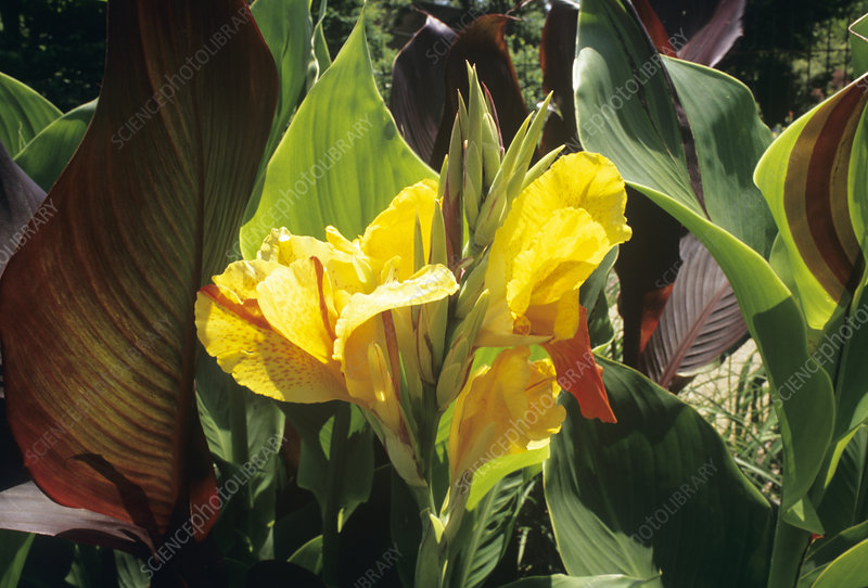 Canna lily flowers (Canna x generalis)