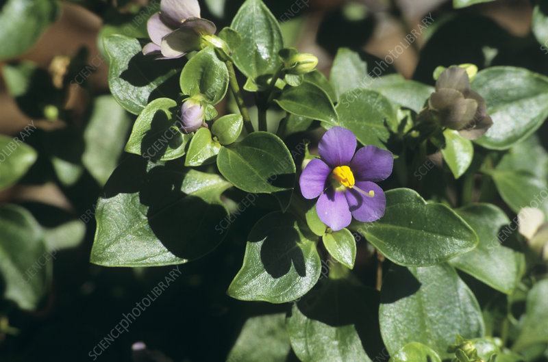 Persian violet flower (Exacum affine)