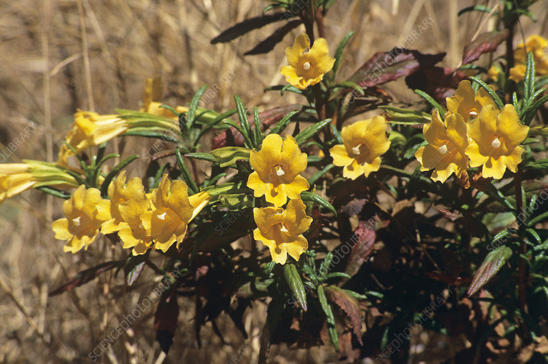 Bush monkeyflower (Mimiulus aurantiacus)