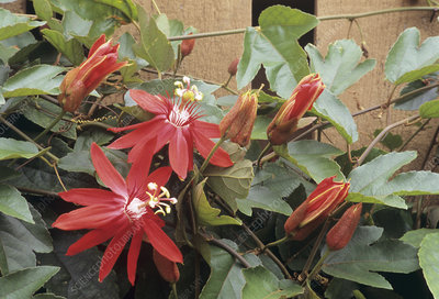 Scarlet passionflower (Passiflora sp.)