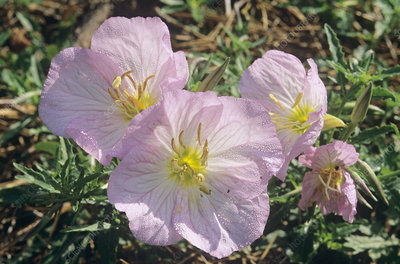 Mexican evening primrose (Oenothera sp.)