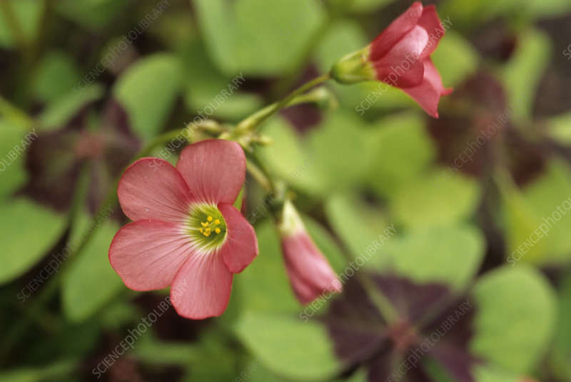 Wood sorrel flowers (Oxalis deppei)
