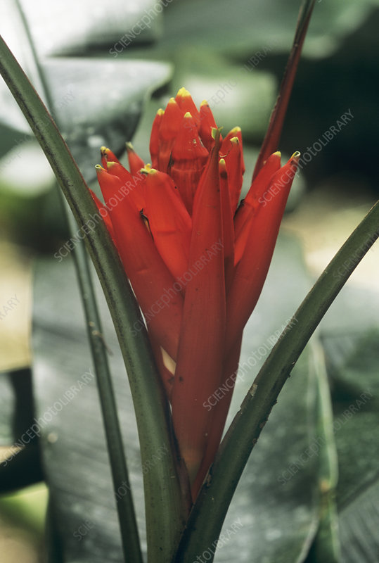 Ornamental banana flower (Musa coccinea)