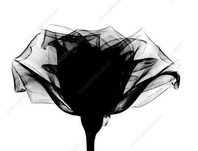 X-ray of a rose