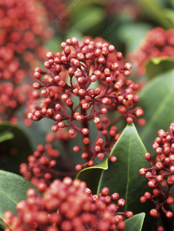 Skimmia flower buds