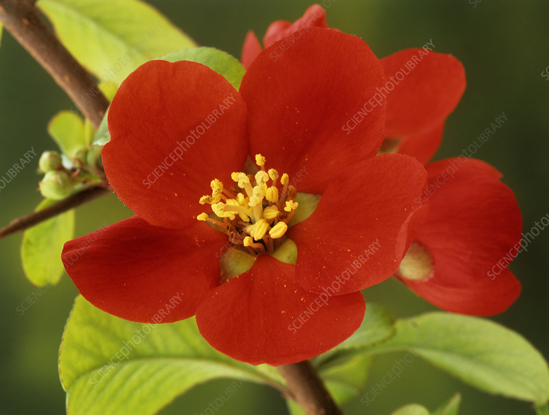Quince 'Crimson And Gold' flowers