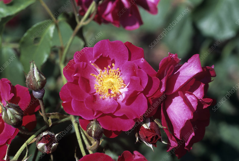 Rose 'Wilhelm' flowers