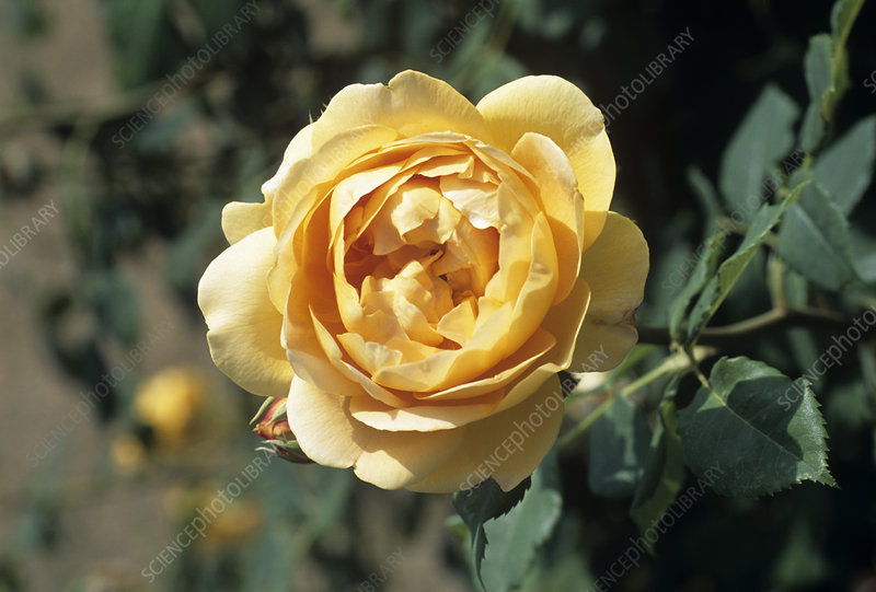 Rose 'Golden Celebration' flower