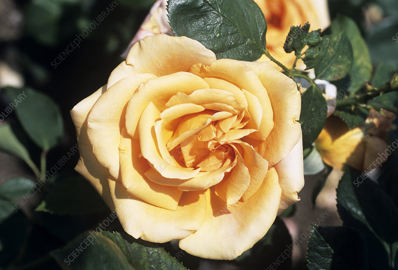 Rose 'Warm Wishes' flower