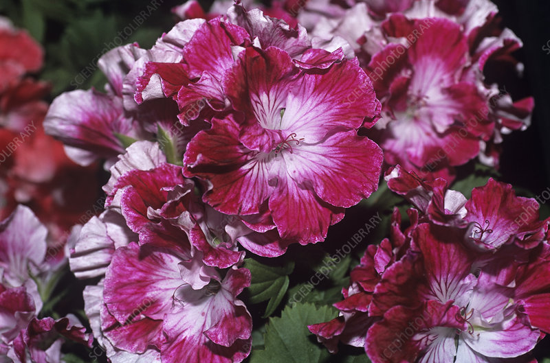 Regal geranium 'Peter's Choice' flowers
