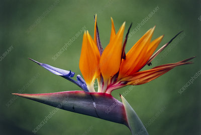 Birdofparadise Flowers on Bird Of Paradise Flower   Stock Image B760 1449   Science Photo