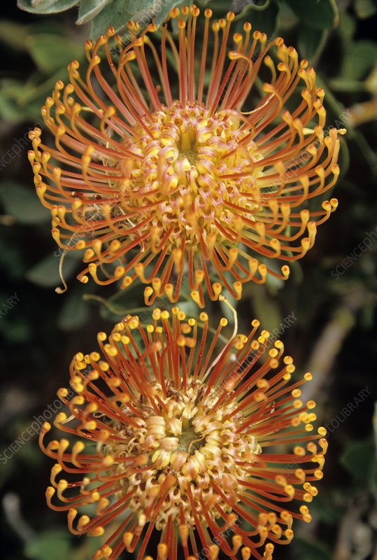 Protea pincushion flowers
