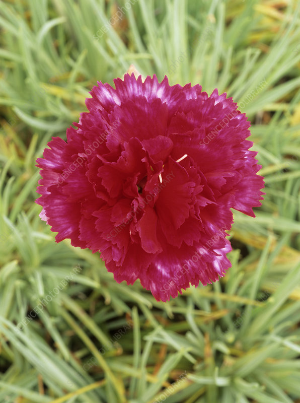 Carnation (Dianthus 'Devon Magic')