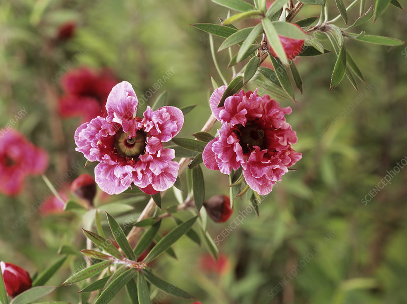 Leptospermum scoparium 'Crimson Glory'