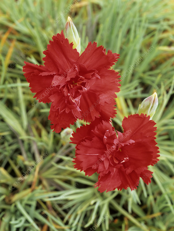 Carnation (Dianthus 'Lady In Red')