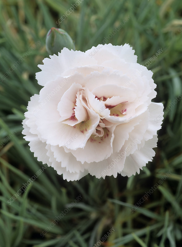 Carnation (Dianthus 'Cranmere Pool'