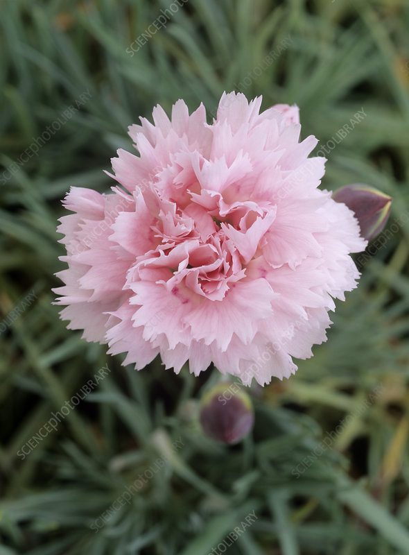 Carnation (Dianthus 'Candy Floss')