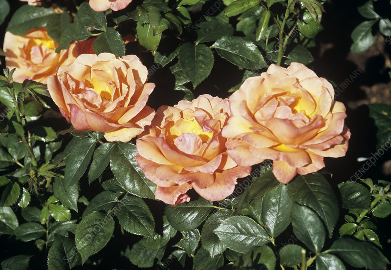 Rosa 'Fellowship' flowers
