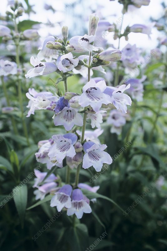 Penstemon 'Stapleford Blue' flowers